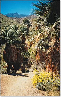 Photo of palm-filled Indian Canyons